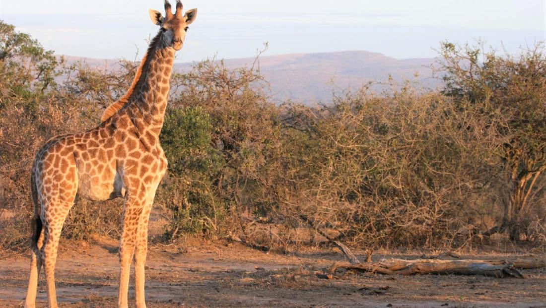Hluhluwe-Imfolozi - Jonge giraffe
