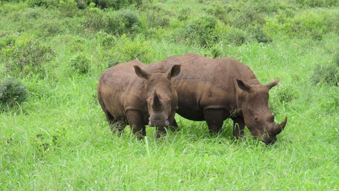 Hluhluwe-Imfolozi - neushoorns in het groene gras