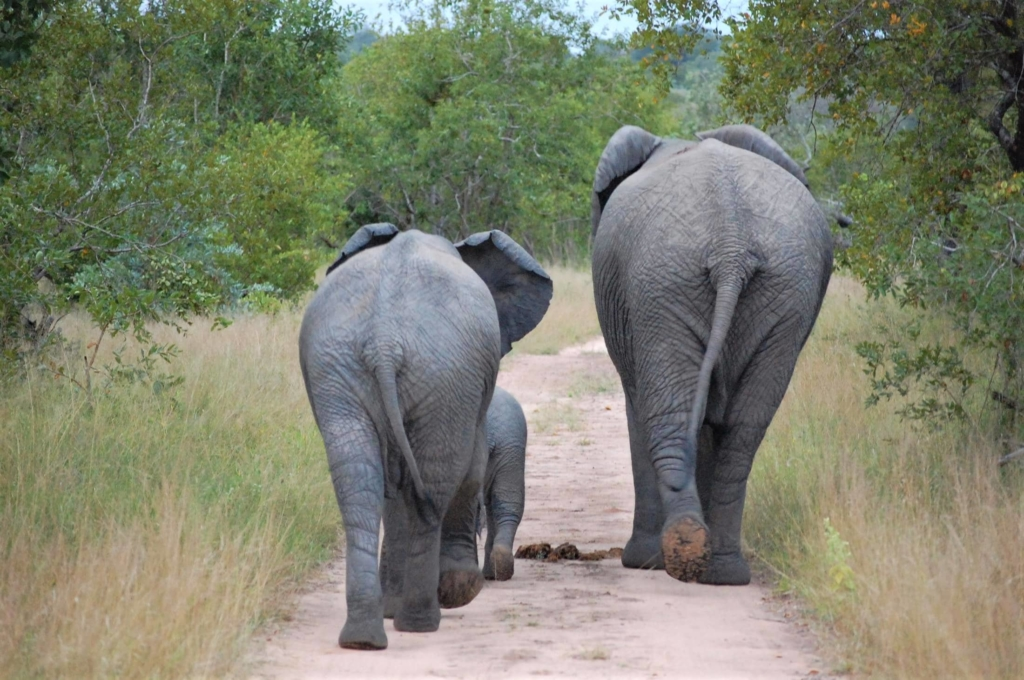Bezienswaardigheden Zuid-Afrika - Olifanten achterkant op onverharde weg in Hluhluwe-Imfolozi