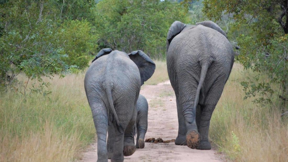 Hluhluwe-Imfolozi - Olifanten achterkant op onverharde weg
