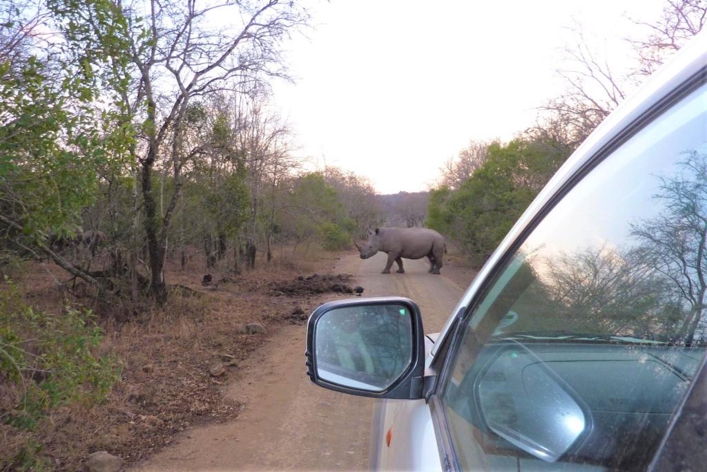 Wildparken in Zuid-Afrika - Neushoorn steekt de weg over in Hluhluwe-Imfolozi