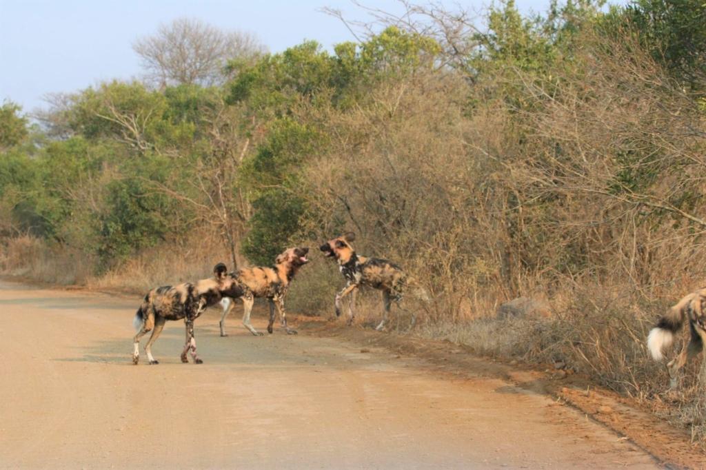 Bezienswaardigheden Zuid-Afrika - Wilde honden spelen naast de weg in Hluhluwe-Imfolozi