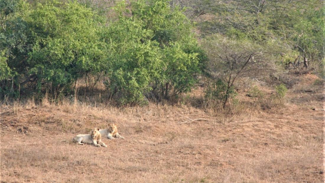 Hluhluwe-Imfolozi - Twee jonge mannetjesleeuwen