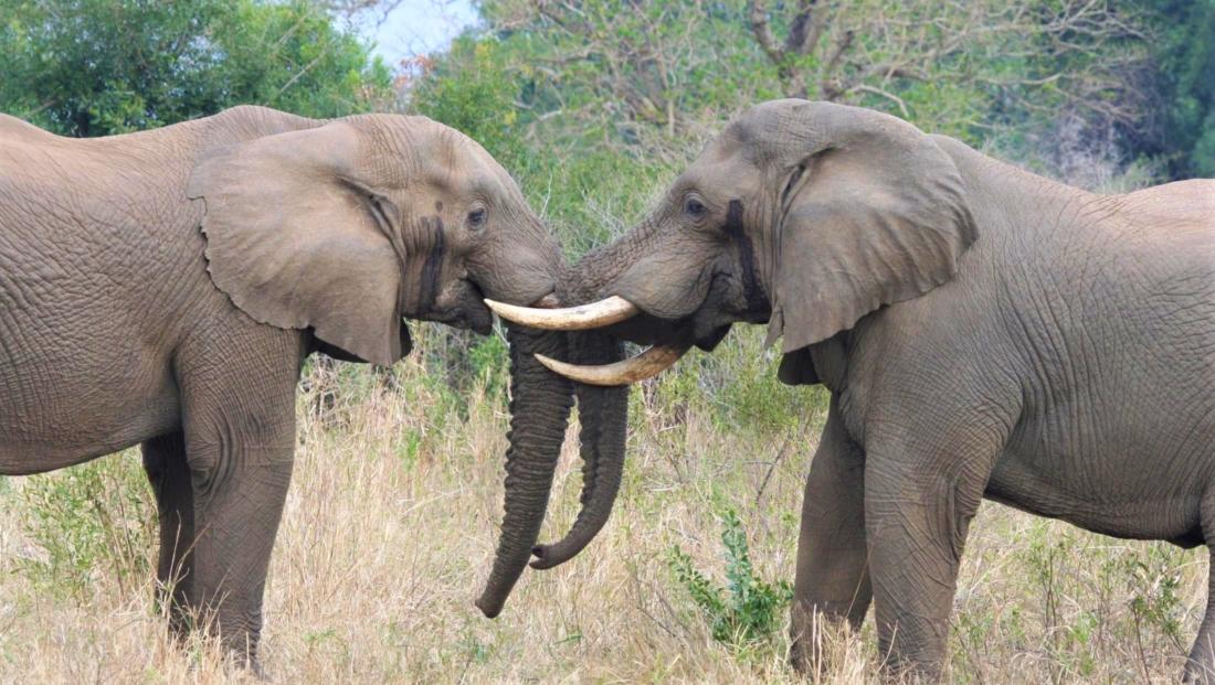Hluhluwe-Imfolozi - Stoeiende olifanten