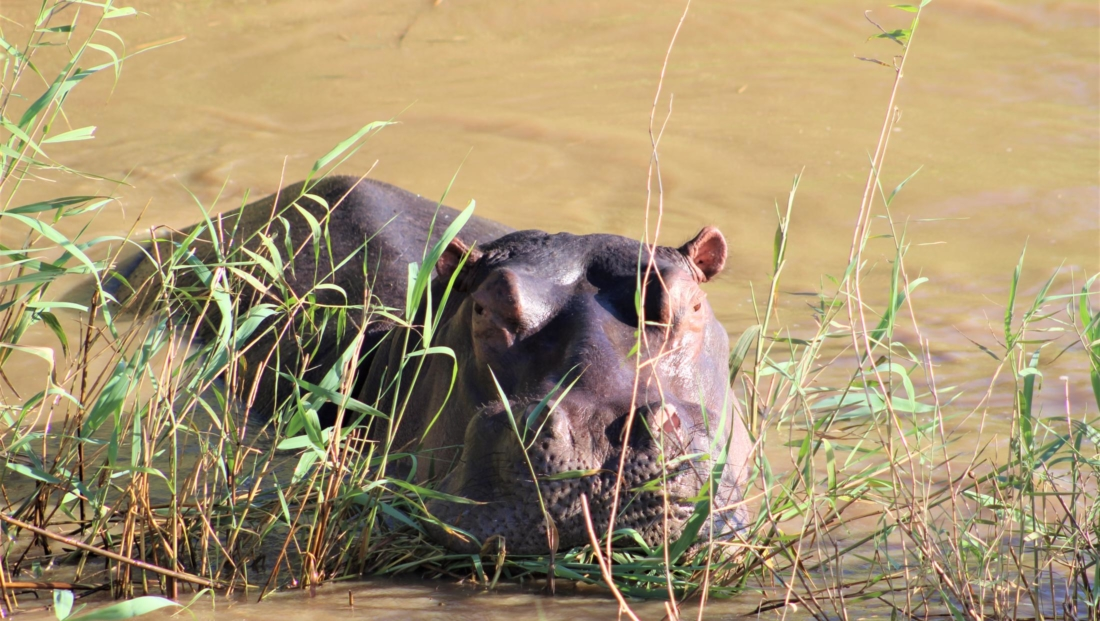 Isimangaliso St Lucia - Nijlpaard in het riet