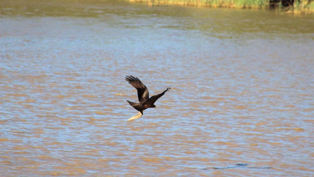 Isimangaliso St Lucia - Roofvogel met prooi