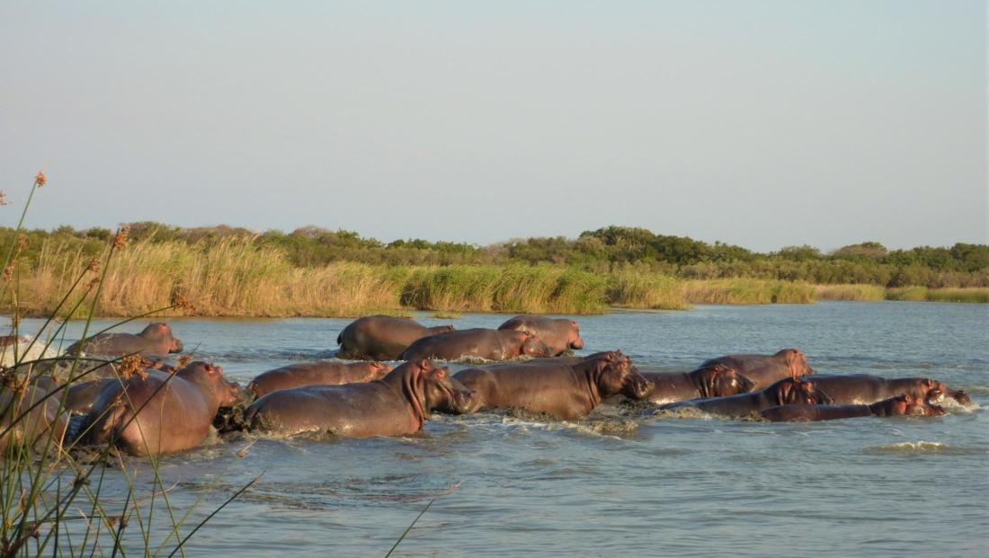 Isimangaliso St Lucia - Nijlpaarden rennen water in