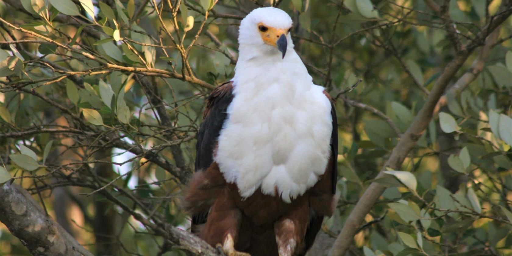 Isimangaliso St Lucia - Fish Eagle