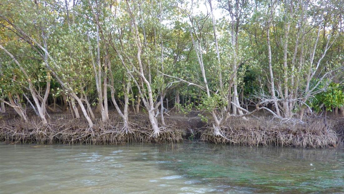 Isimangaliso St Lucia - Mangrove bos