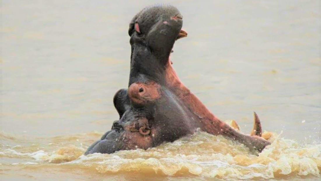 Isimangaliso St Lucia - Nijlpaard met bek open