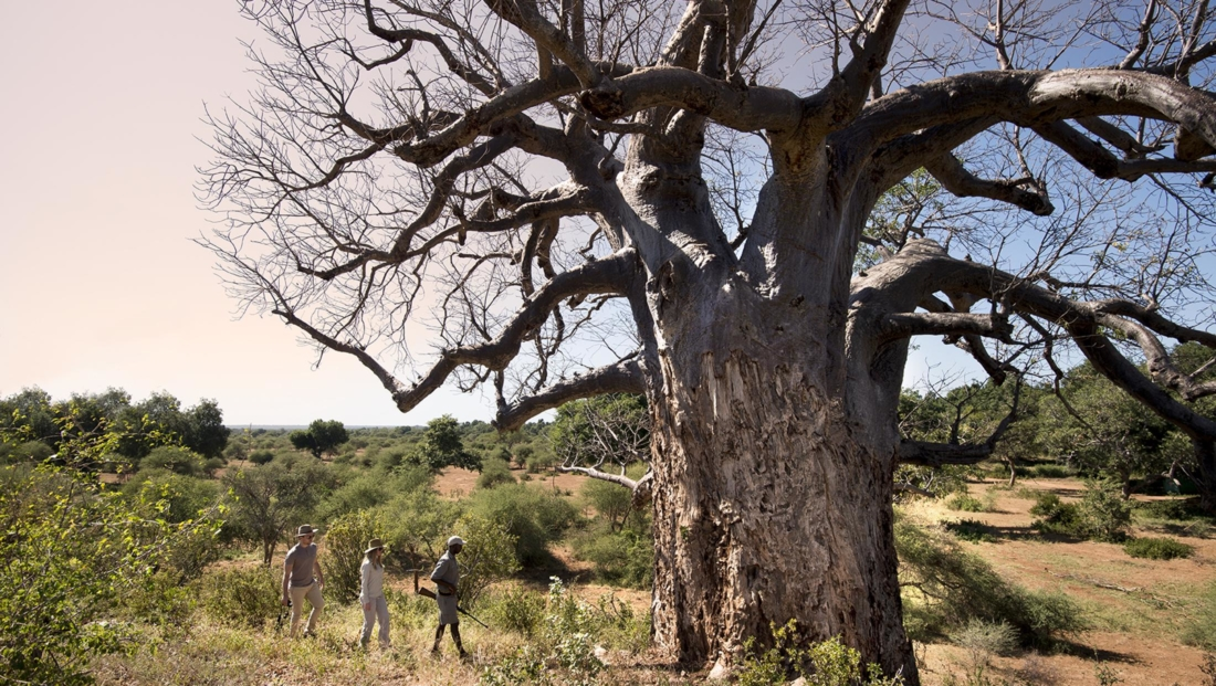 Pafuri Walking Safaris - Wandeling bij baobab