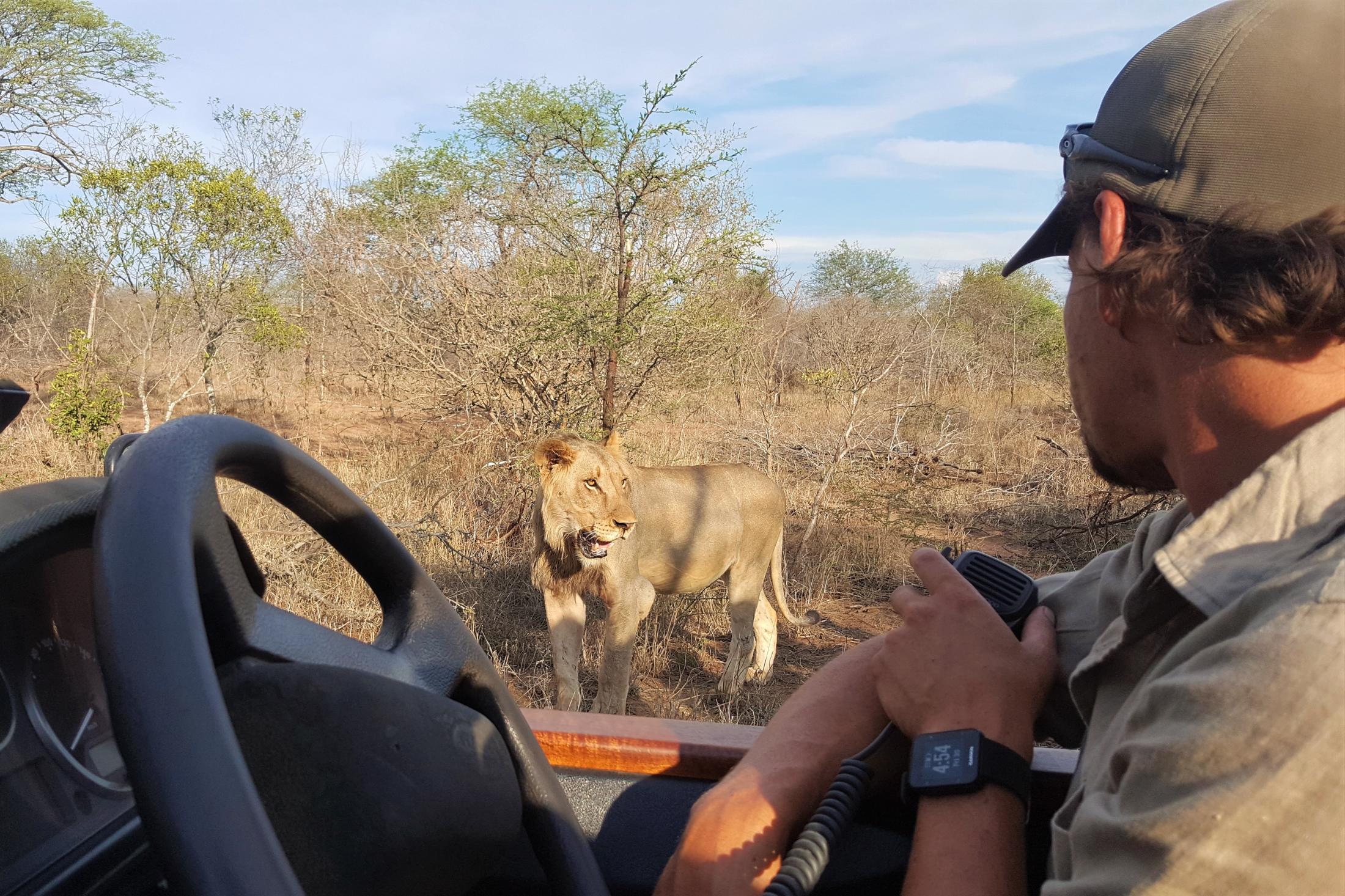 Safari & Natuur reizen Afrika - Wildrit met ranger, leeuw vlak naast het voertuig
