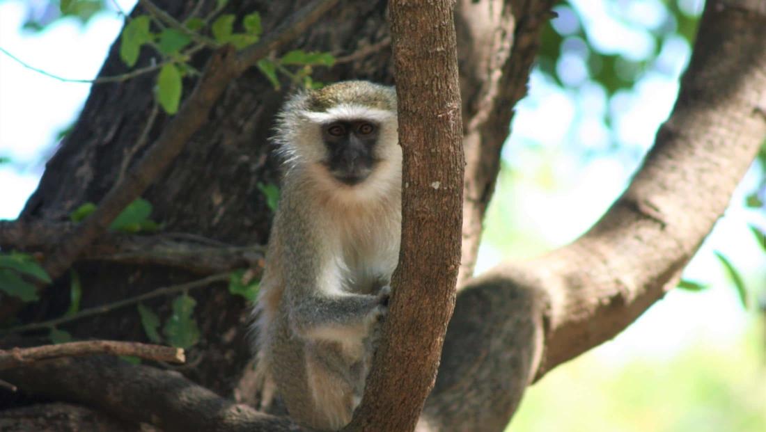 South Luangwa NP - Vervet monkey