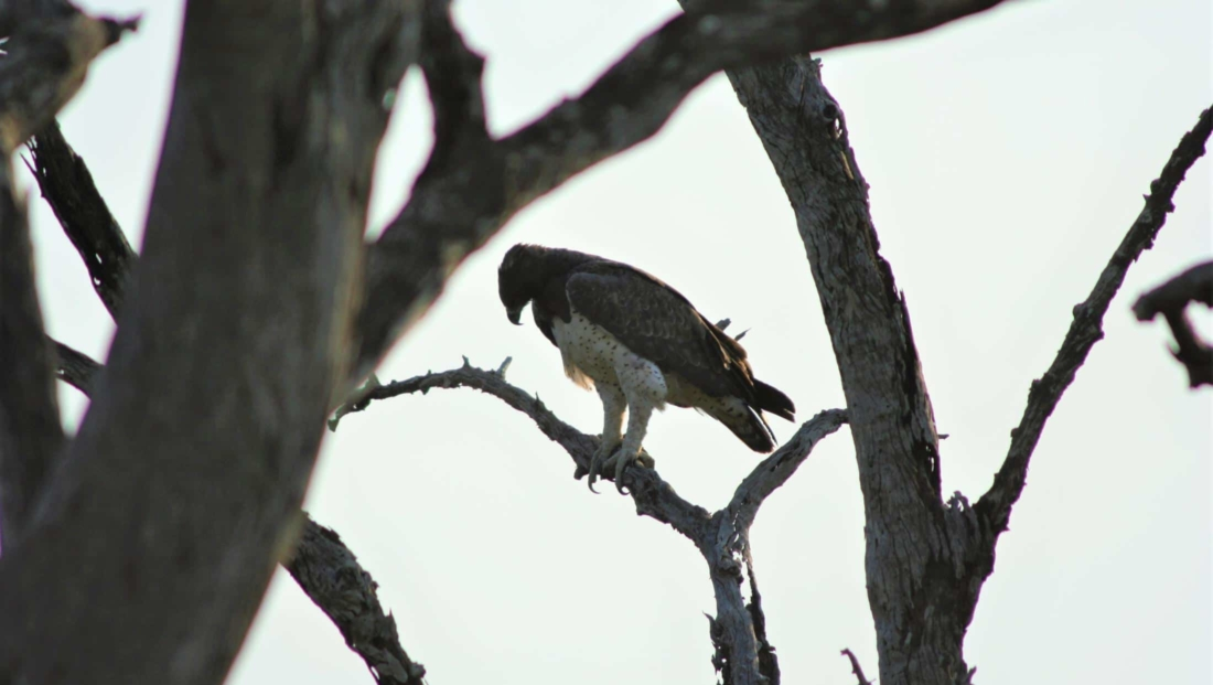 South Luangwa NP - Martial Eagle in een boom