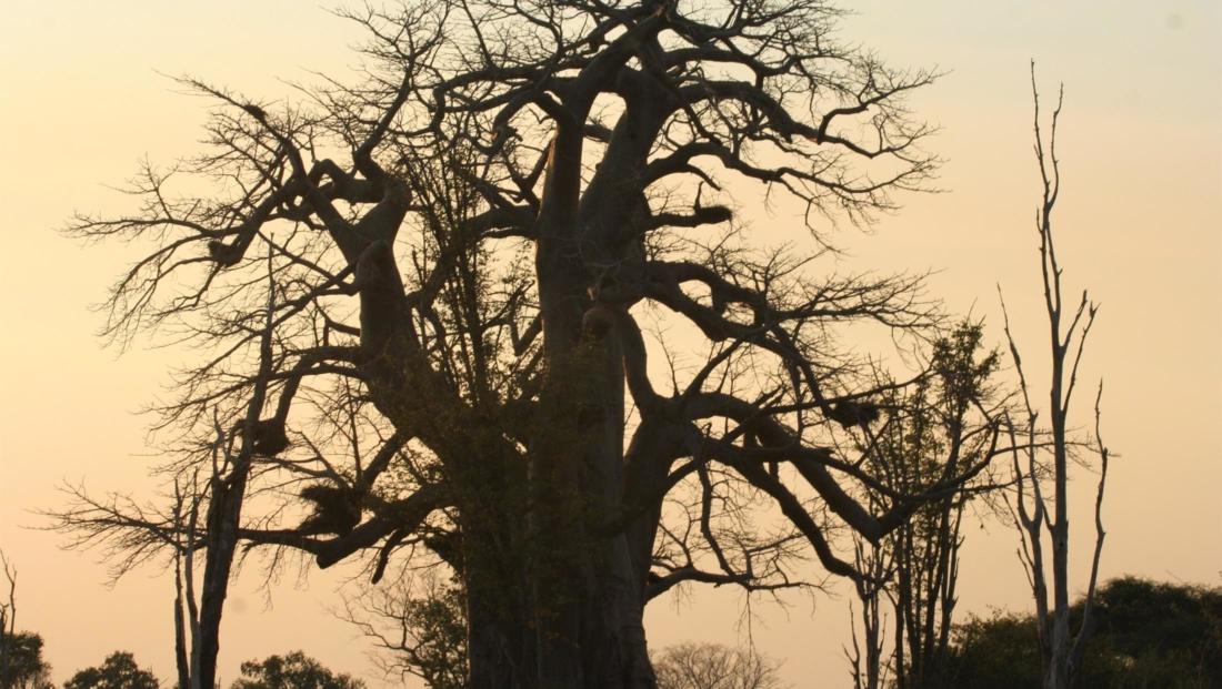 South Luangwa NP - Baobab