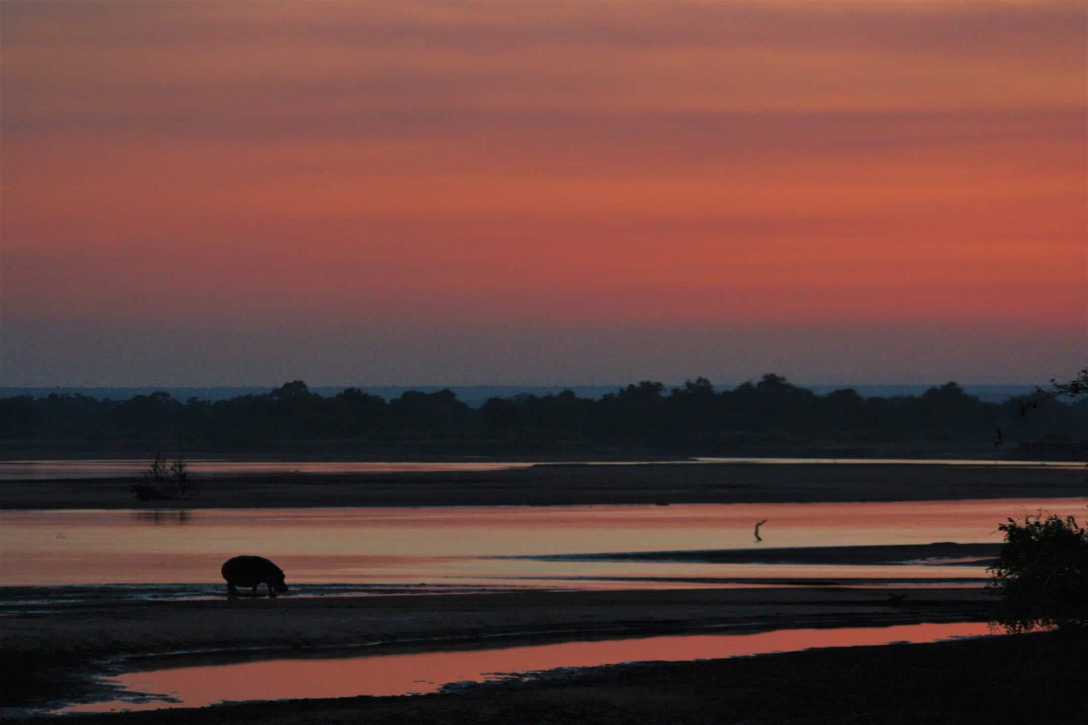 Safari & Natuur reizen Afrika - Nijlpaard bij zonsondergang in het ongerepte South Luangwa National Park in Zambia