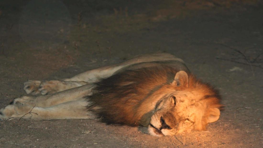 South Luangwa NP - Slapende leeuw