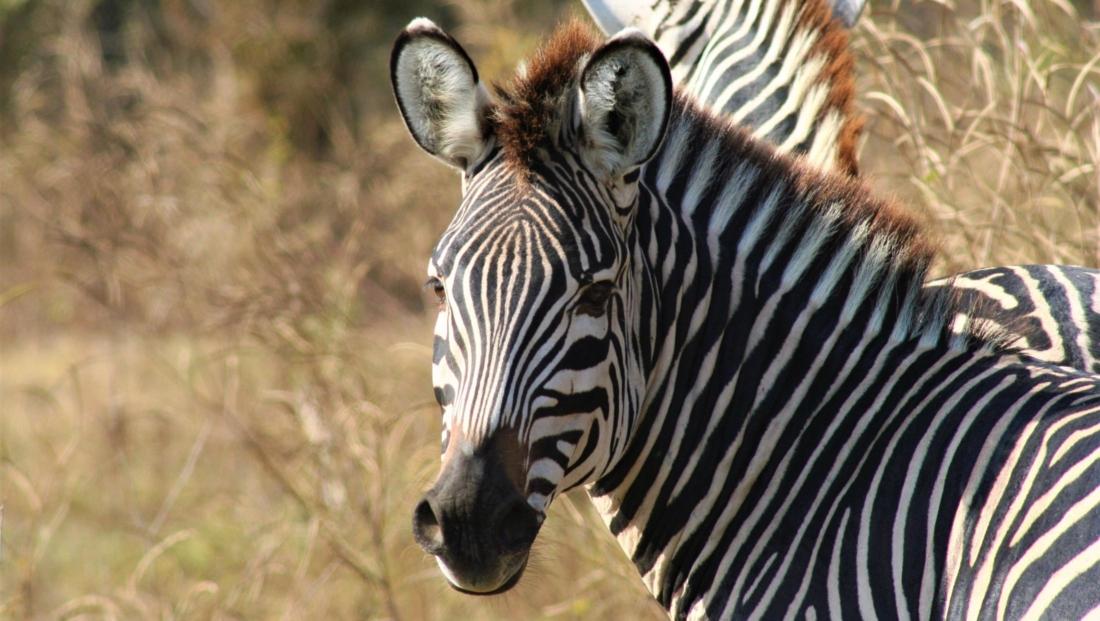 South Luangwa NP - Zebra kijkt achterom