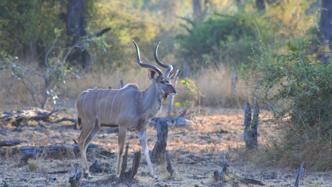 South Luangwa NP - Kudu