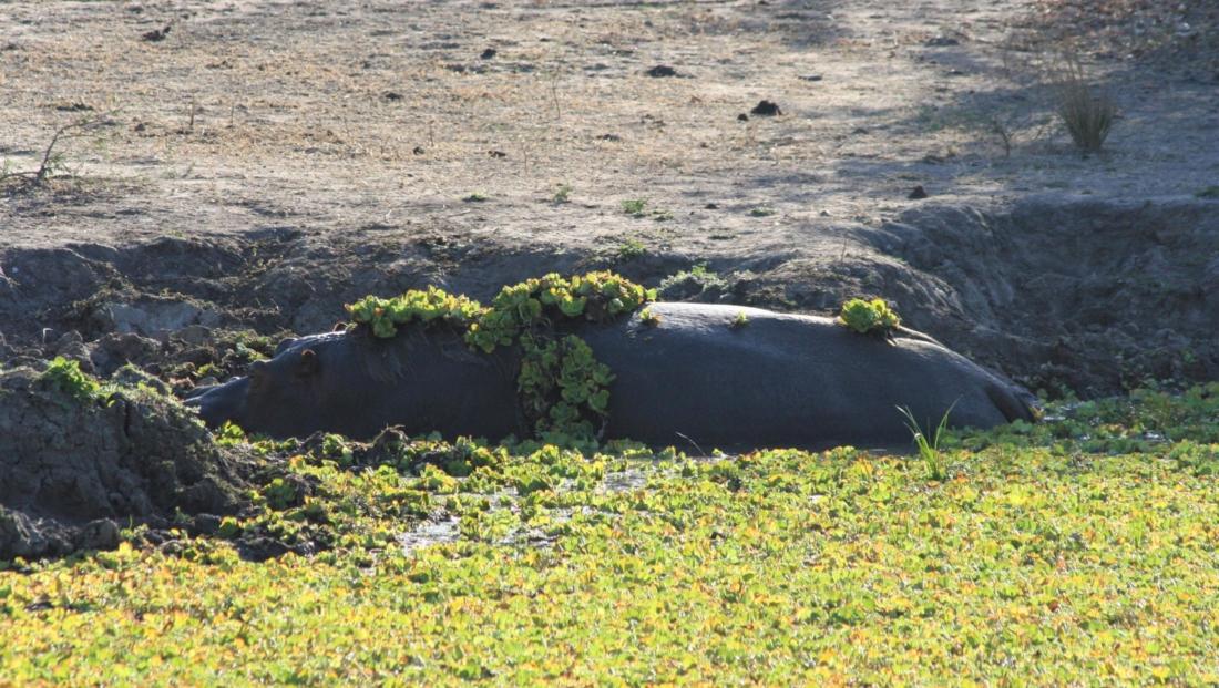 South Luangwa NP - Nijlpaard verstopt in waterplanten