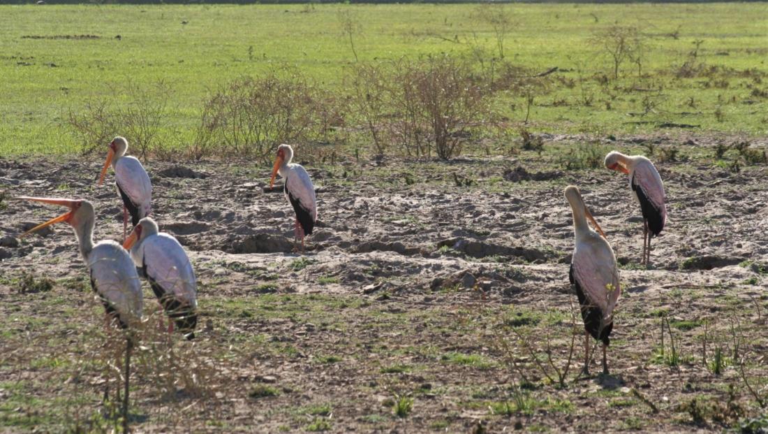 South Luangwa NP - Yellow-billed storks (ooievaars)
