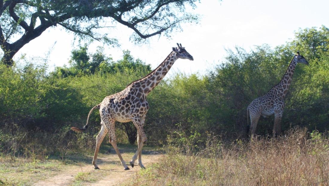 South Luangwa NP - Giraffen steken de weg over