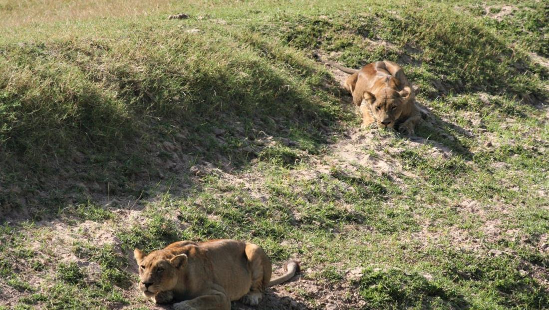 South Luangwa NP - Leeuwen klaar voor de jacht