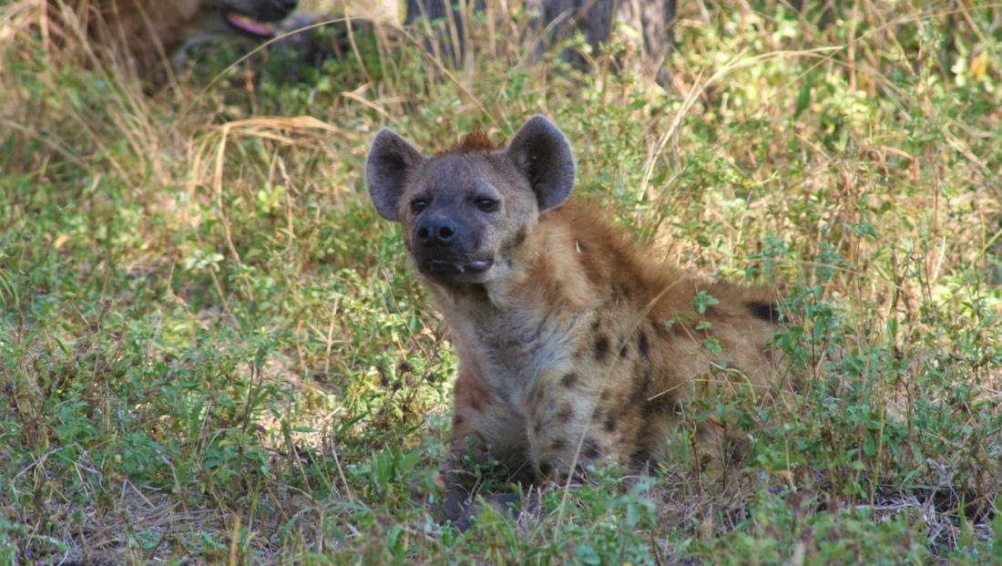 South Luangwa NP - Hyena in het gras