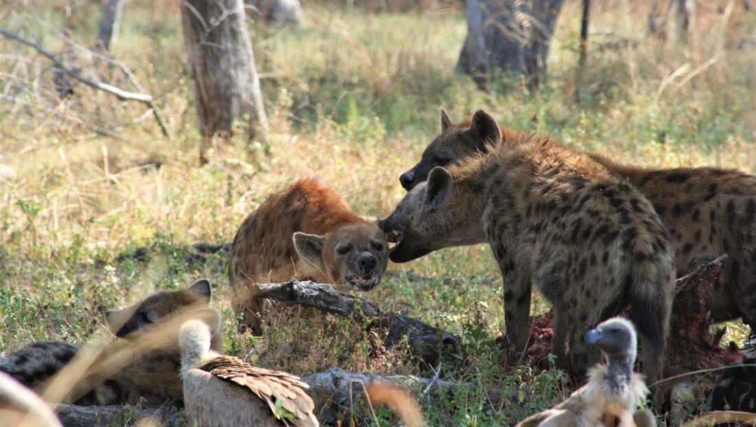 South Luangwa NP - Hyena's