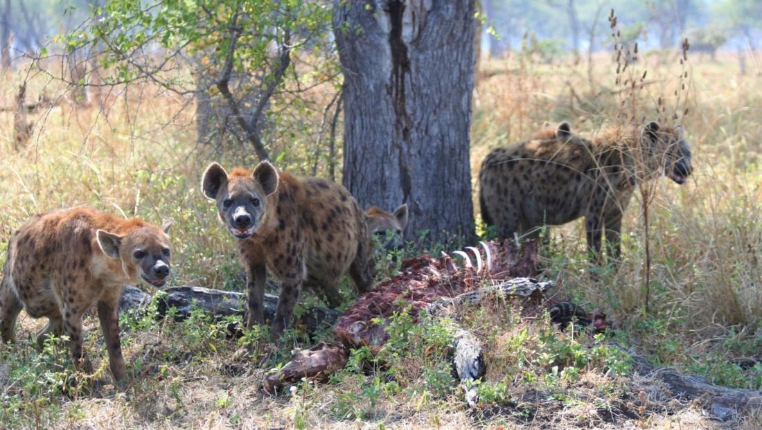 South Luangwa NP - Hyena's bij prooi