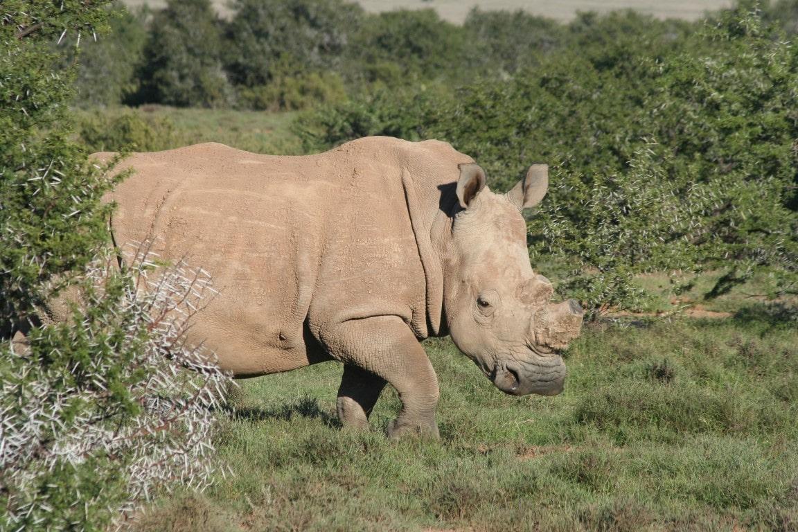 Nieuwsbrief Out in Africa - Neushoorn zonder hoorn - dehorned rhino - Samara