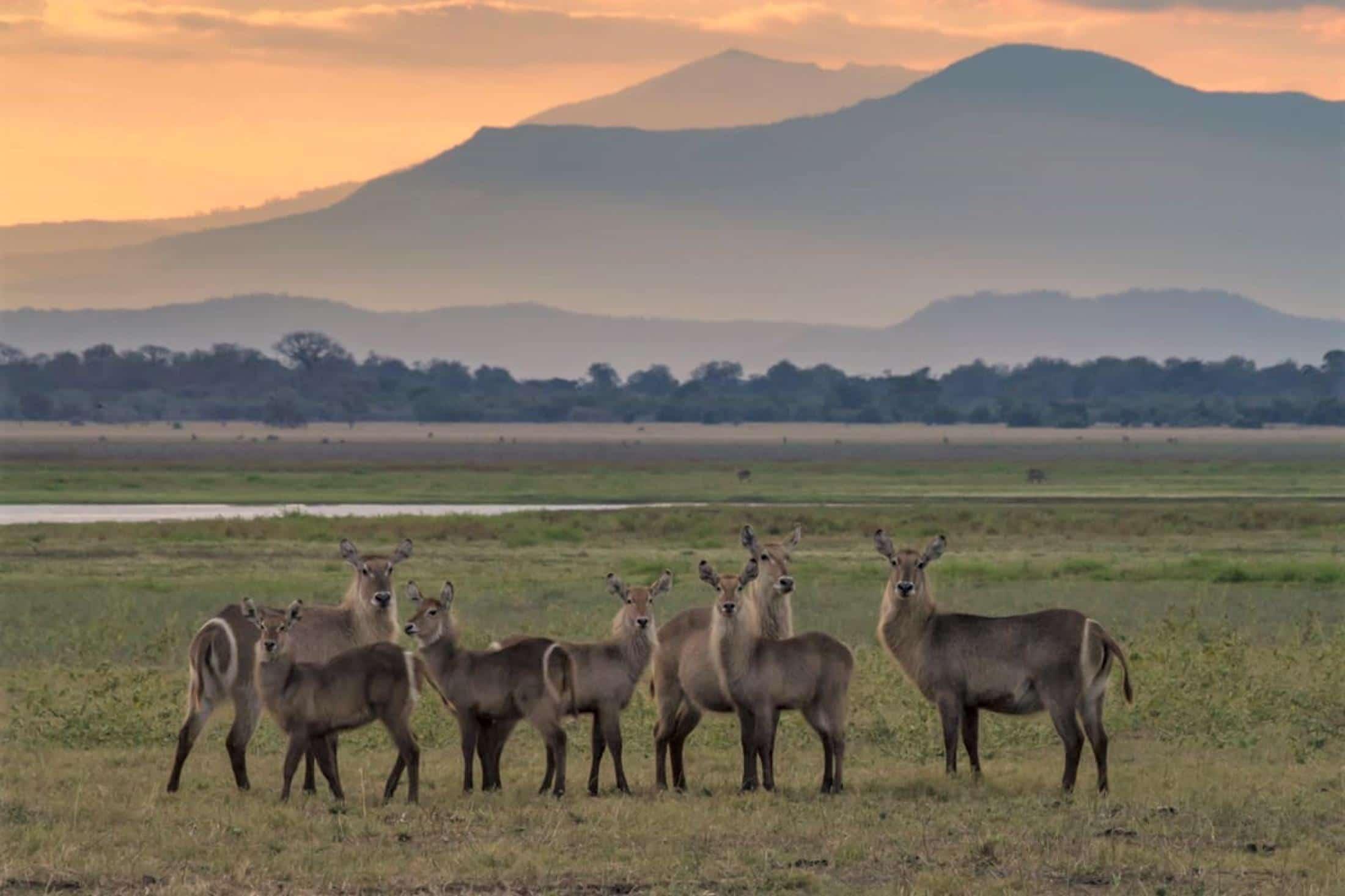 Rondreizen vakanties Mozambique - Waterbokken met berg op de achtergrond in Gorongosa National Park